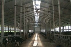 HVLS fans located in a dairy cow shed - helping to keep the cows cool and milk production high