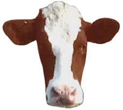 A cool cow is a happy and productive cow